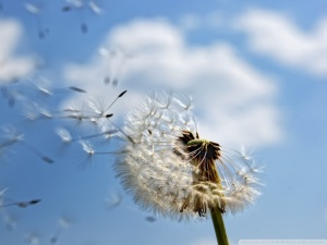dandelion_wish_2-wallpaper-800x600